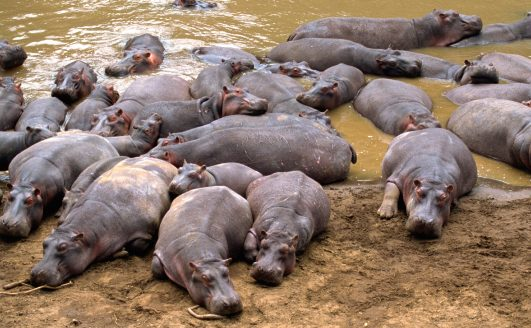 Hungry, Hungry Hippo…